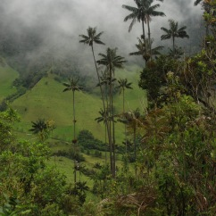 Wax palms tower over the Valle de Cocora near Salento.