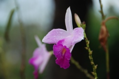Orchids, Puerto Nariño, the Amazon.