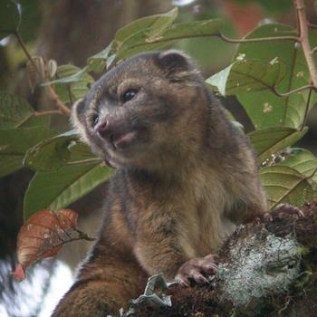 Olinguito, Colombia.