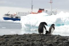Adélie penguins at Brown Bluff