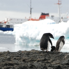 Adélie penguins at Brown Bluff