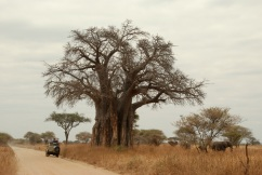 Baobab tree, elephants and a safari jeep in Tarangire National Park, in northern Tanzania.