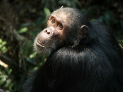 Chimpanzee at Gombe Stream Nation Park, in western Tanzania on Lake Tanganyika.