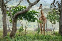 A giraffe in Arusha National Park.