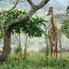 A giraffe in Arusha National Park.