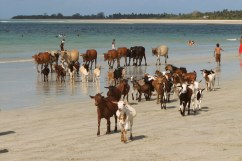 Goats and cows on a beach near Dar es Salaam