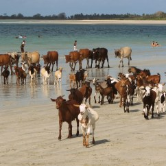 Goats and cows on a beach near Dar es Salaam