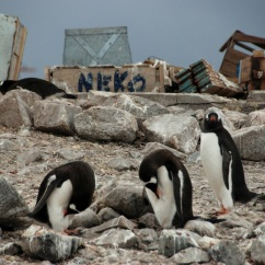 Gentoo penguins at Neko Harbor
