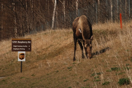 Then again...sometimes stereotypes are true. This moose nonchalantly browses by a major road in Anchorage, Alaska.