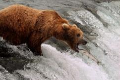 Brown bear at Brooks Falls, Katmai National Park.