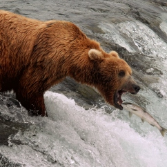 Brown bear at Brooks Falls, Katmai National Park.