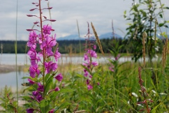Fireweed, Katmai National Park.