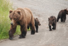 Mother brown bear and three spring cubs, Katmai National Park.