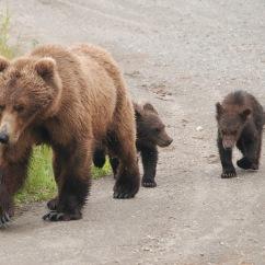 Mother brown bear and three spring cubs, Katmai National Park.
