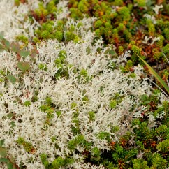 Lichens and plants in the tundra, Katmai National Park.