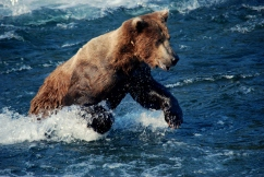 Brown bear, Katmai National Park.