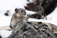 Pika, Nabesna Mountains, Wrangell-St. Elias National Park.