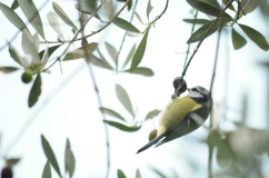 Bird in olive tree, Cinque Terre