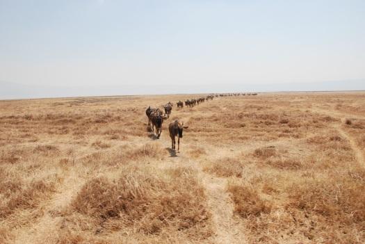 Wildebeest in Ngorongoro Conservation Area, Tanzania.