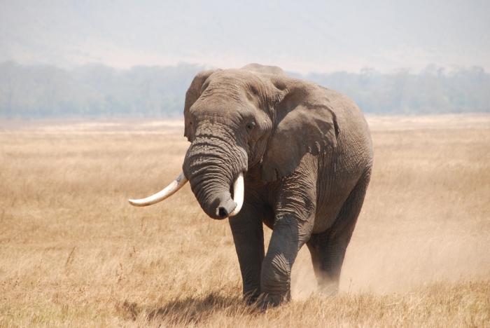 African elephant in Ngorongoro Conservation Area, Tanzania.