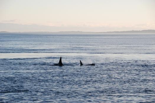 Orcas off San Juan Island.