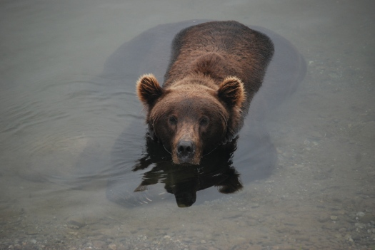 A brown bear sits in the in the Brooks River, Katmai National Park, Alaska. Check out it's bulk under the water!