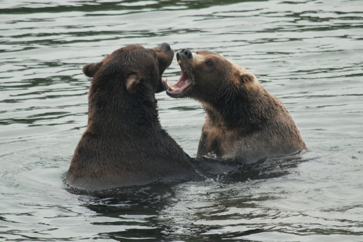 Two brown bears play fight in the Brooks River, Katmai National Park, Alaska.