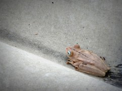 "Frog on my porch, Colombia, from ""Never Catch Wild Animals"""
