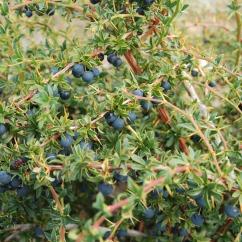 """Calafate berries, Patagonia, Argentina, rom """"Avoid Tourist Traps"""""""