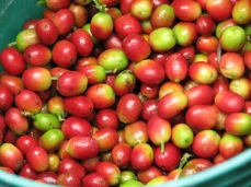 """Coffee cherries, near Arusha, Tanzania, from """"Know What's in Your Drink"""""""