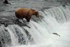 "Grizzly bear and salmon at Brooks Falls, Alaska from ""Stick to the Trail"""