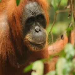 Orangutan, Gunung-Leuser National Park, Sumatra