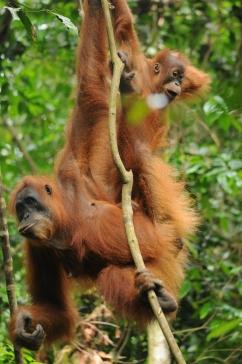 Orangutan mother and baby, Gunung-Leuser National Park, Sumatra