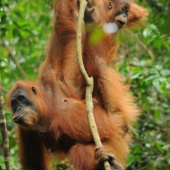 Orangutan mother and baby, Gunung-Leuser National Park, Sumatra