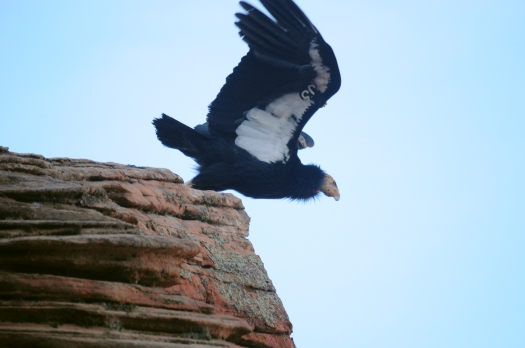 An endangered California condor takes off in Zion National Park, Utah, USA