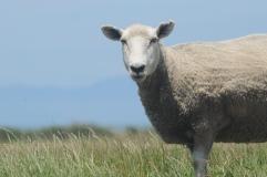 Sheep, near Fa.rewell Cape