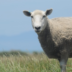 Sheep, near Fa.rewell Cape