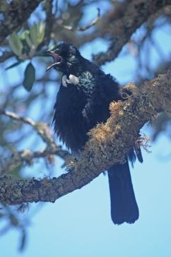 Tūī, Rangitoto Island.