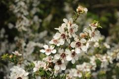 Mānuka flowers, Whakatāne.